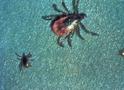 Thumbnail of Deer Ticks (Blacklegged Ticks)