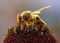 Thumbnail of Honeybee Collecting Pollen