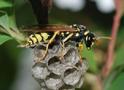 Thumbnail of Paper Wasp