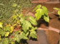 Thumbnail of Poison Ivy Plant (Example 2)