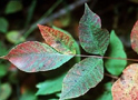 Thumbnail of Poison Sumac Plant