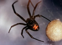 Thumbnail of Black Widow Spider
